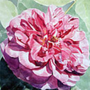 Watercolor Of A Pink Rose In Full Bloom Dedicated To Van Gogh Poster