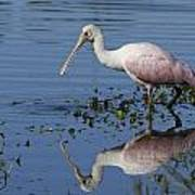 Roseate Spoonbill Hunting Poster