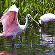 Roseate Spoonbill No.2 Poster