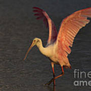 Roseate Spoonbill Photograph Poster