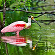 Roseate Spoonbill Wading Poster