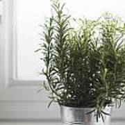 Rosemary In Metal Pot Poster