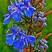 Rosemary In Park Sierra Near Coarsegold-california  Poster