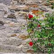 Roses On A Stone Wall Poster