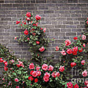 Roses On Brick Wall Poster by Elena Elisseeva