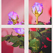 Roses Through The Window Poster