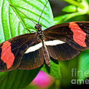 Rosina Butterfly Poster