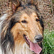 Rough Collie Poster