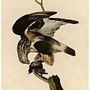 Rough-legged Falcon Poster