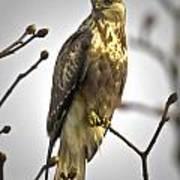 Rough Legged Hawk  Poster