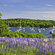 Round Pond Lupine Flowers On The Coast Of Maine Poster