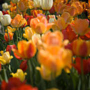 Row Of Colorful Tulips Poster