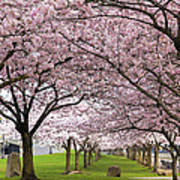 Rows Of Cherry Blossom Trees In Bloom Poster