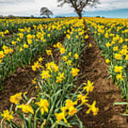 Rows Of Daffodils Poster