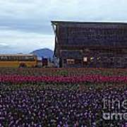 Rows Of Multi Colored Tulips In Field With Old Barn And Yellow B Poster