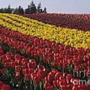 Rows Of Multicolored Tulips In Field Mount Vernon Washington Sta Poster