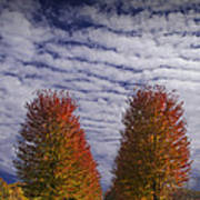 Rows Of Red Autumn Trees With Cirus Clouds Poster