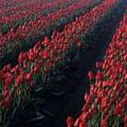 Rows Of Red Tulips Poster