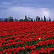 Rows Of Red Tulips With One Yellow Tulip  Poster by Jim Corwin