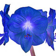 Royal Blue Amaryllis On White Poster