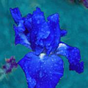 Royal Blue Iris Poster