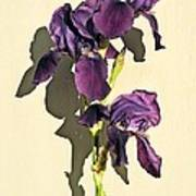 Royal Purple Iris Still Life Poster