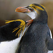 Royal Penguin Couple Courting Poster