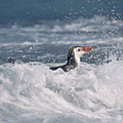Royal Penguin Swimming In Surf Poster