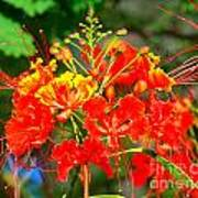 Royal Poinciana Poster