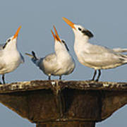 Royal Tern Trio Displaying Dominican Poster