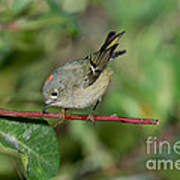 Ruby-crowned Kinglet Showing Crown Poster