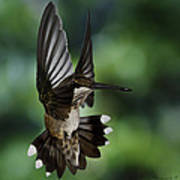 Ruby Throat Humming Bird Poster