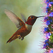 Ruby Throated Hummingbird Digital Art Poster