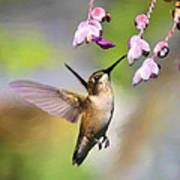 Ruby-throated Hummingbird - Digital Art Poster