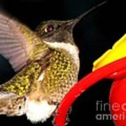 Ruby-throated Hummingbird Landing On Feeder Poster