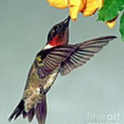 Ruby-throated Hummingbird Male At Flower Poster