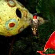 Ruby- Throated Hummingbird Poster