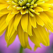 Rudbeckia Cherokee Sunset Flower Poster by Tim Gainey