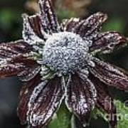 Rudbeckia First Frost Poster