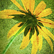 Rudbeckia On Cement Poster