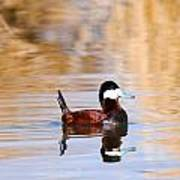 Ruddy Duck  Poster