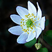 Rue Anemone Poster