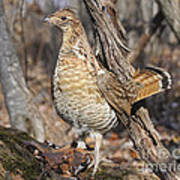 Ruffed Grouse On Mossy Log Poster