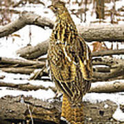 Ruffed Grouse Rear View Poster
