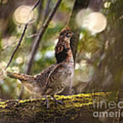 Ruffed Grouse Side Pose Poster