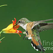 Rufous Hummingbird At Tiger Lily Poster