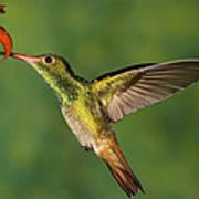 Rufous Hummingbird Feeding Poster