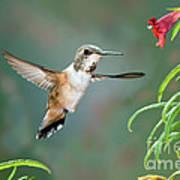 Rufous Hummingbird Female At Monkey Poster