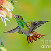 Rufous-tailed Hummingbird Poster