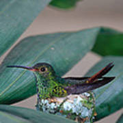 Rufous-tailed Hummingbird On Nest Poster